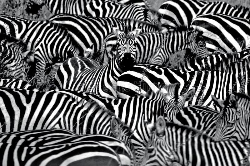 Estratto della zebra fotografie stock