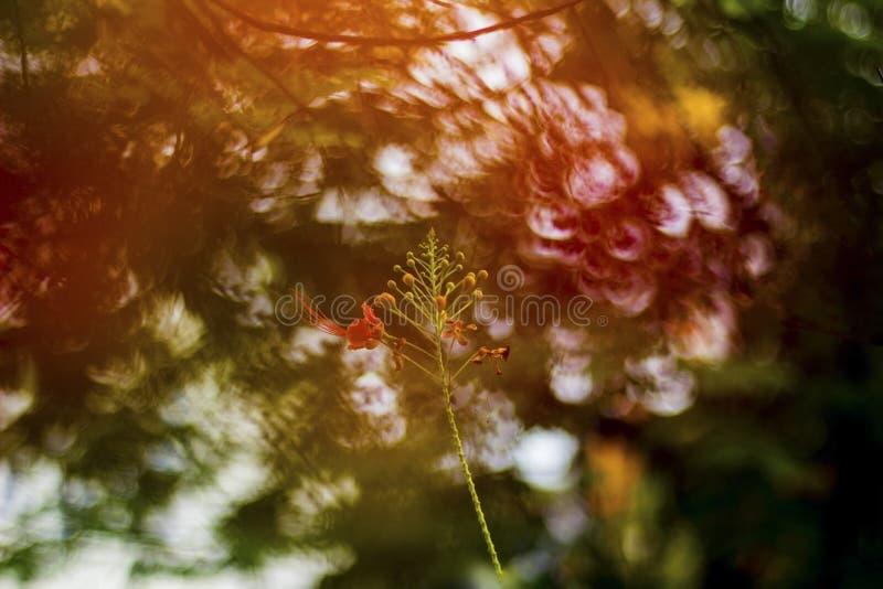 Estratto di Gulmohor fotografia stock libera da diritti