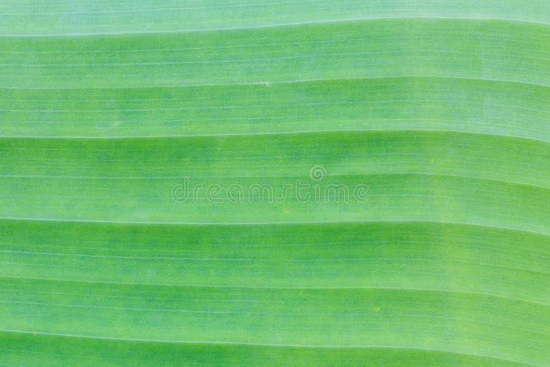 Estratto verde della priorità bassa del foglio della banana fotografia stock libera da diritti