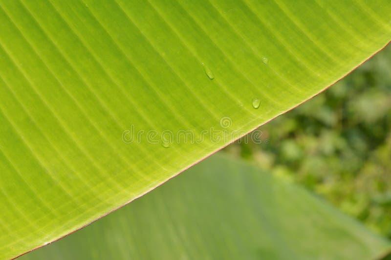 Estratto verde della priorità bassa del foglio della banana immagine stock libera da diritti