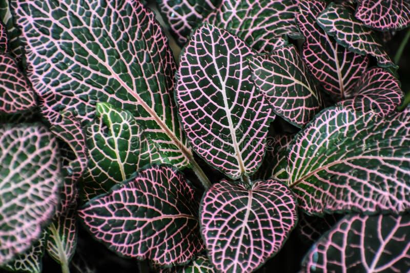 Estratto verde variegato del fondo della pianta della foglia fotografia stock libera da diritti