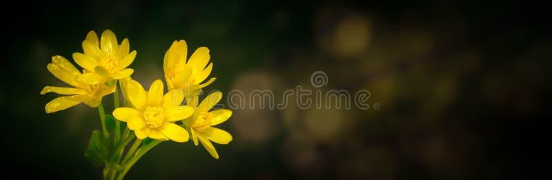 Estrela amarela de flores de Belém com boque sobre fundo escuro fotografia de stock