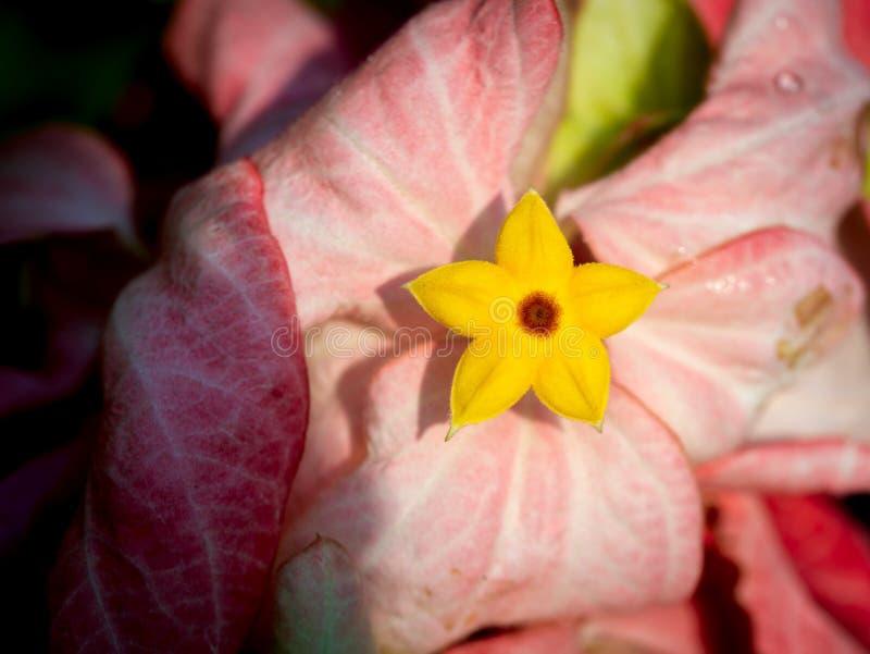 Estrela amarela em Dona Training Flower Blooming cor-de-rosa fotografia de stock