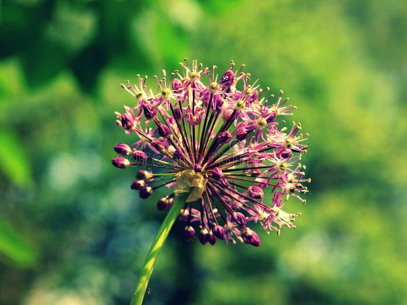 Estrela da Pérsia - cristophii do Allium no jardim checo fotos de stock royalty free