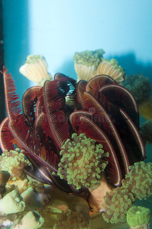 Estrela de mar da pena de Crinoid no aquário fotografia de stock