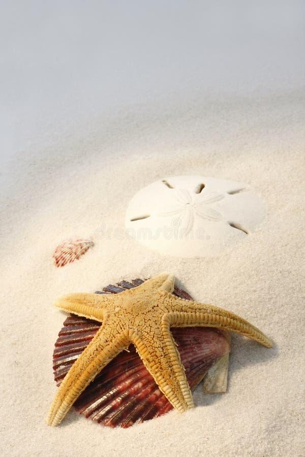 Estrela de mar, escudos e dólar de areia na praia imagem de stock royalty free
