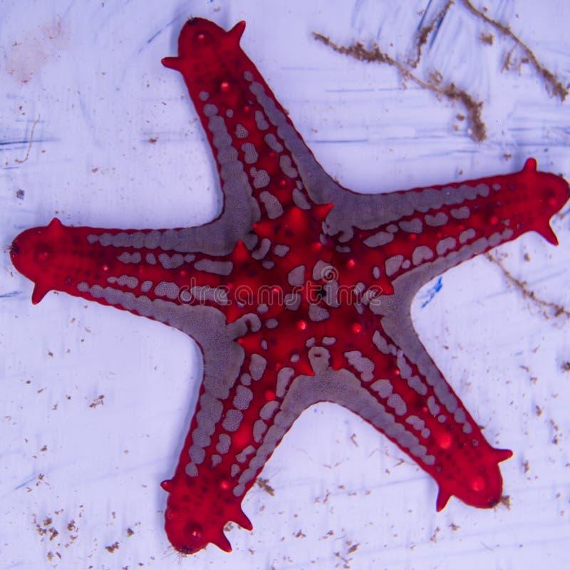 Estrela de mar vermelha do botão fotos de stock