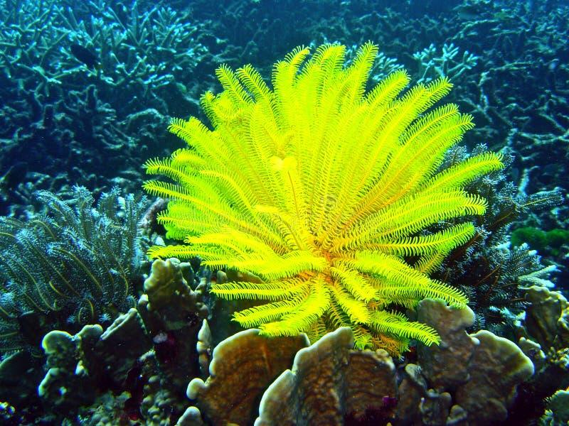 Estrela de pena amarela subaquática imagem de stock