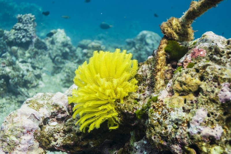 Estrela de pena na ilha de Surin foto de stock royalty free