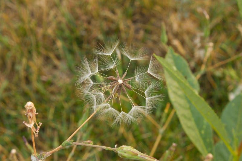 Estrela do dente-de-leão imagem de stock