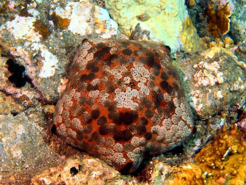 Estrela do mar foto de stock