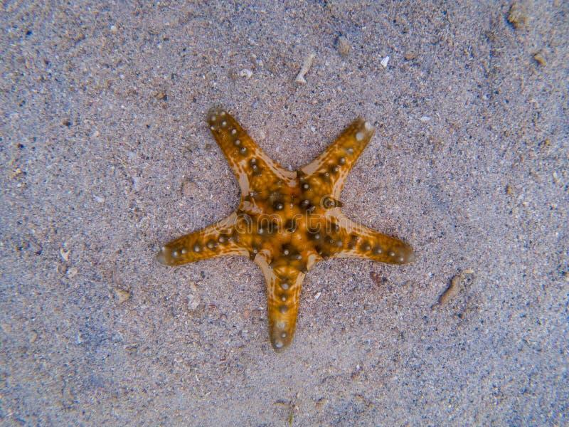 Estrela do mar alaranjada na areia branca na água do mar Água do mar tropical durante a maré baixa Animal subaquático do litoral imagem de stock royalty free