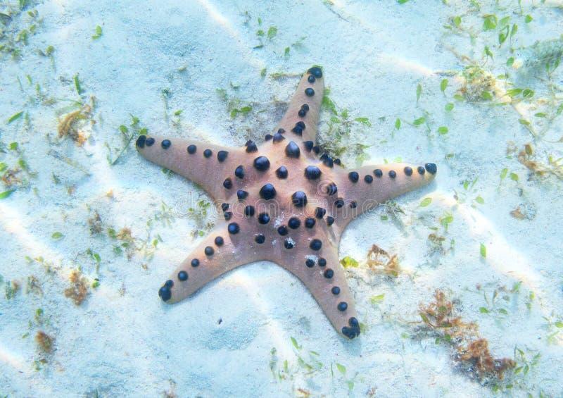 Estrela do mar alaranjada na costa de mar branco na luz solar Foto subaquática de peixes da estrela no litoral tropical Praia ex? foto de stock royalty free