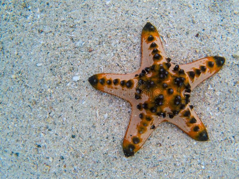 Estrela do mar alaranjada no molde da bandeira da água do mar Água do mar tropical durante a maré baixa Animal subaquático do lit fotos de stock