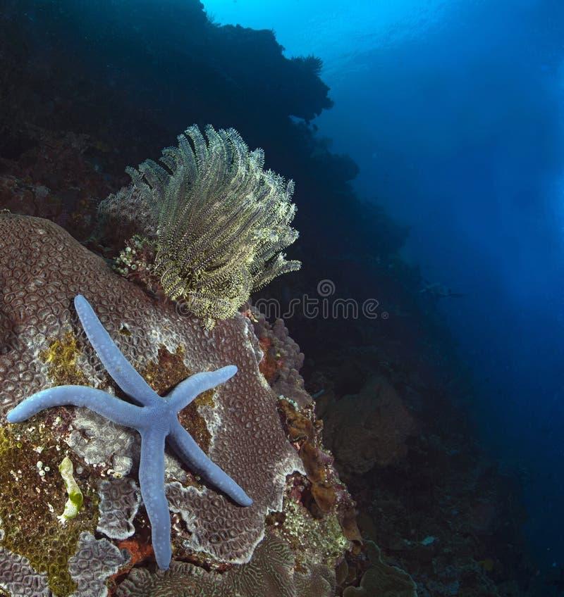 Estrela do mar azul e featherstar amarelo no coral do pedregulho foto de stock royalty free
