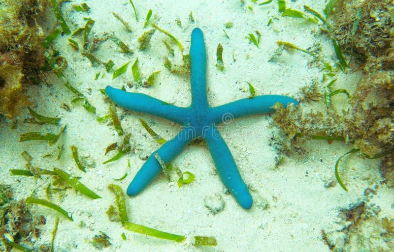 Estrela do mar azul na parte inferior de mar tropical Paisagem subaquática com estrela do mar cor-de-rosa imagens de stock royalty free