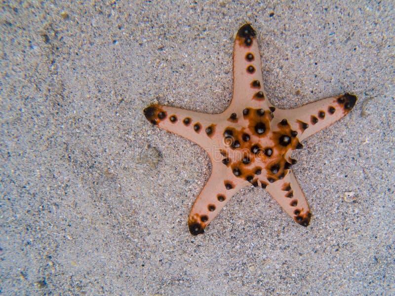Estrela do mar cor-de-rosa na areia branca na água do mar Molde alaranjado da bandeira da estrela do mar do descanso Animal subaq imagem de stock royalty free