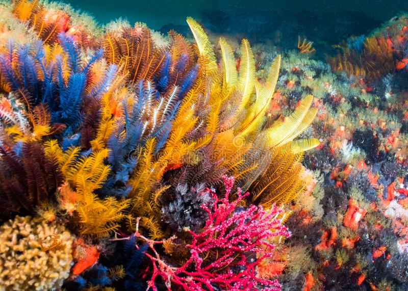 Estrela do mar da pena no recife fotos de stock royalty free