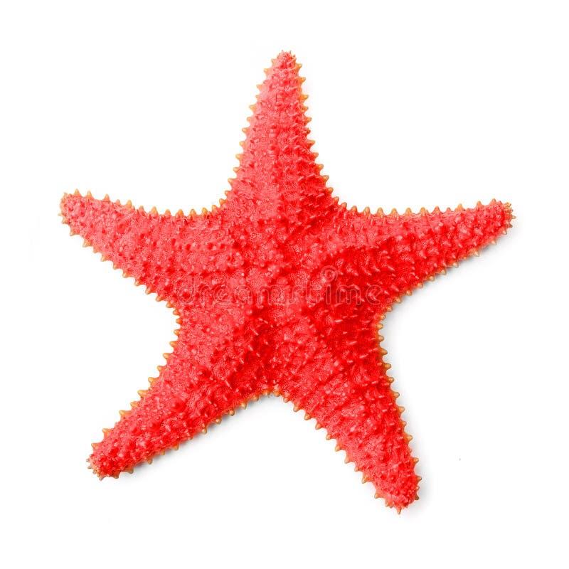 A estrela do mar das caraíbas comum (reticulatus de Oreaster).