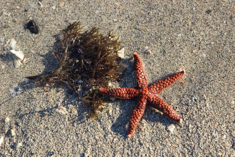Estrela do mar e alga na areia fotos de stock royalty free