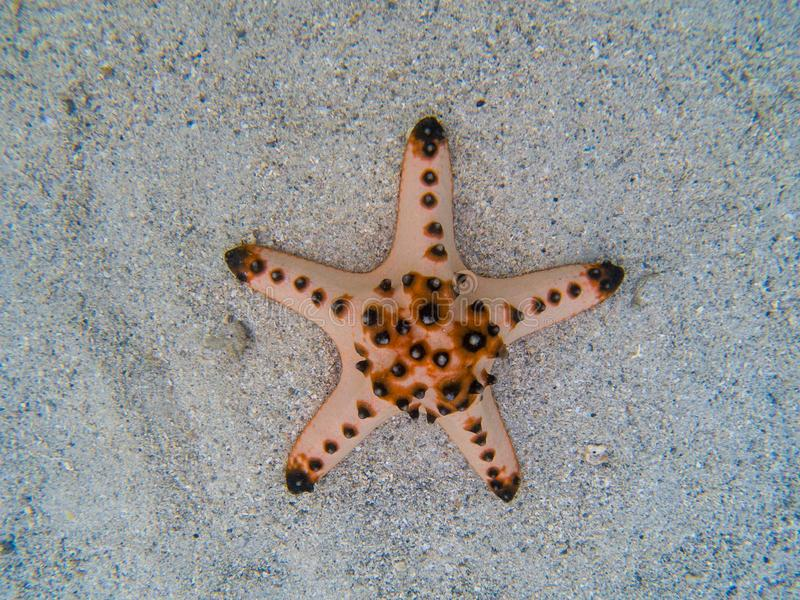 Estrela do mar natural na areia branca na água do mar Água do mar tropical durante a maré baixa Animal subaquático do litoral fotos de stock royalty free