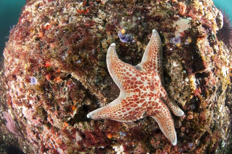 Estrela do mar no recife foto de stock