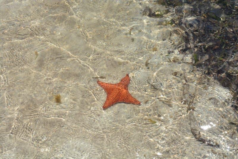 Estrela do mar quadrúpede em San Blas, ¡ de Panamà fotografia de stock