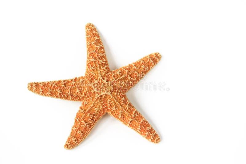 Estrela do mar (rubens de Asterias) imagem de stock