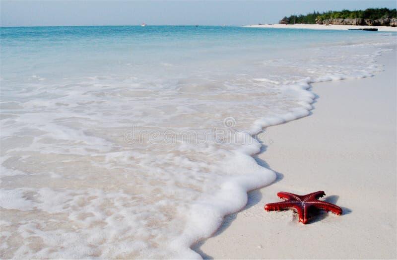 Estrela do Mar Vermelho no console de Zanzibar imagens de stock
