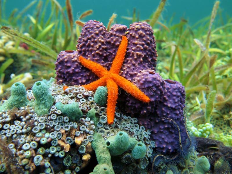 Estrela e esponjas de mar imagens de stock