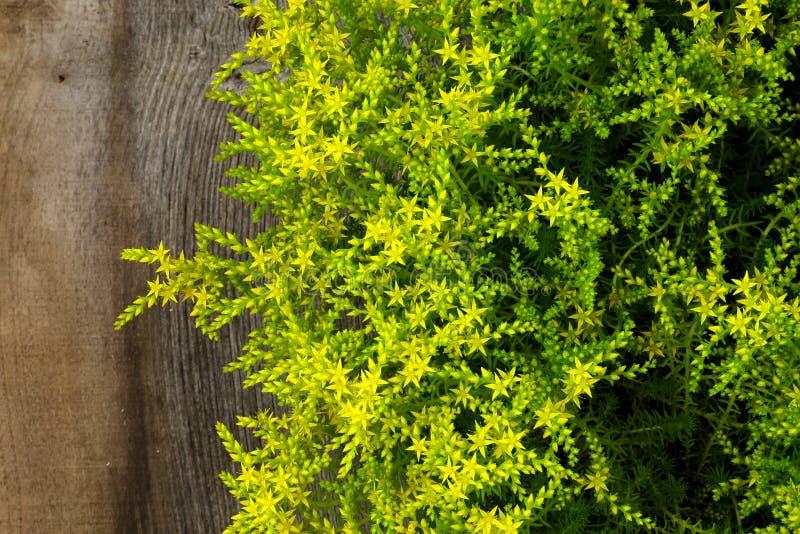 A estrela pequena de florescência amarela do sedum deu forma ao jardim P do jardim ornamental das flores fotografia de stock