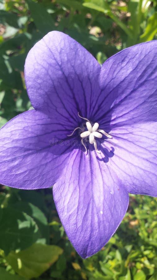 Estrela violeta imagem de stock