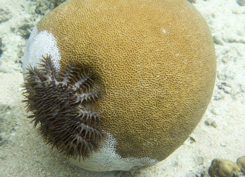 Estrella de la espina que come corales en Indonesia foto de archivo libre de regalías