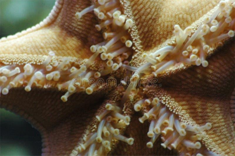 Estrella de mar foto de archivo