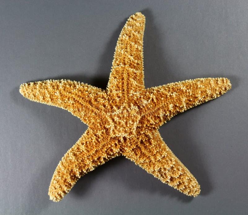 Estrella de mar de Forbes foto de archivo libre de regalías