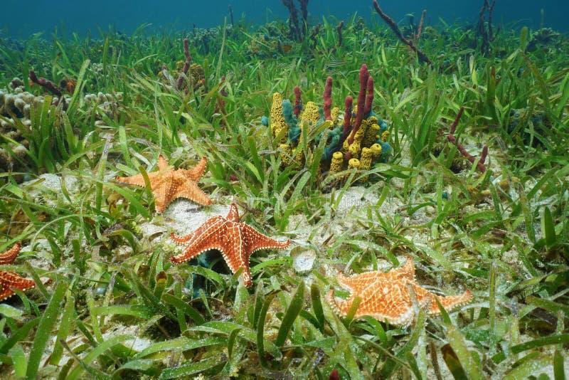 Estrella de mar del amortiguador bajo la superficie del mar con las esponjas coloridas foto de archivo