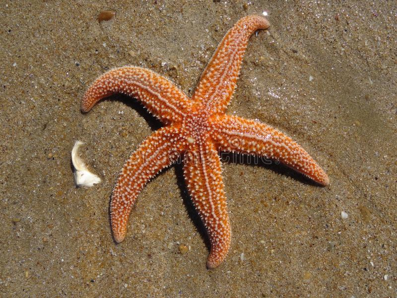 Estrella de mar en la playa imagen de archivo libre de regalías