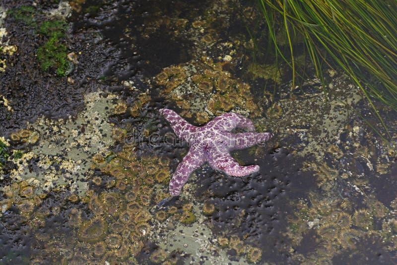 Estrella de mar púrpura durante la bajamar imagen de archivo libre de regalías