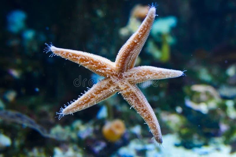 Estrella de mar subacuática imagenes de archivo