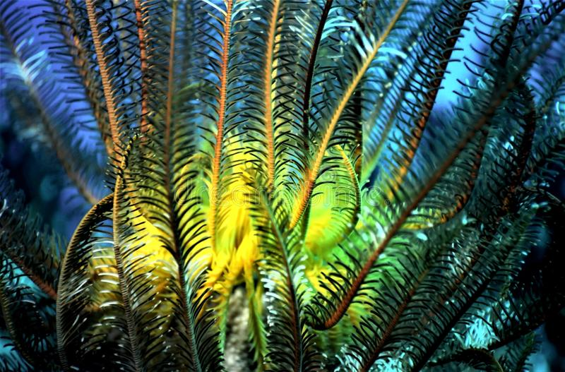 Estrella de pluma Crinoid imagen de archivo libre de regalías