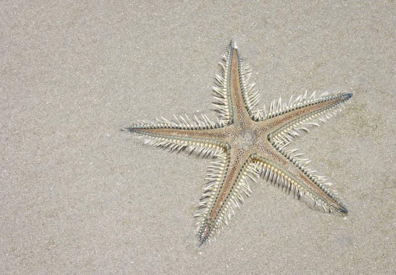 Estrella espinosa de la arena y x28; Astropecten& x29; fotografía de archivo libre de regalías