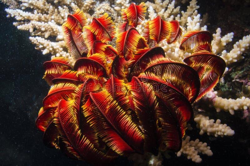 Estrellas de mar de la pluma fotografía de archivo