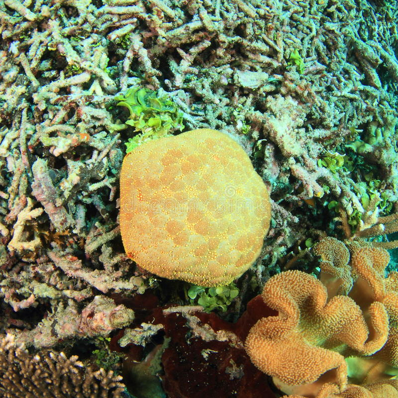 Estrellas de mar del acerico imagen de archivo