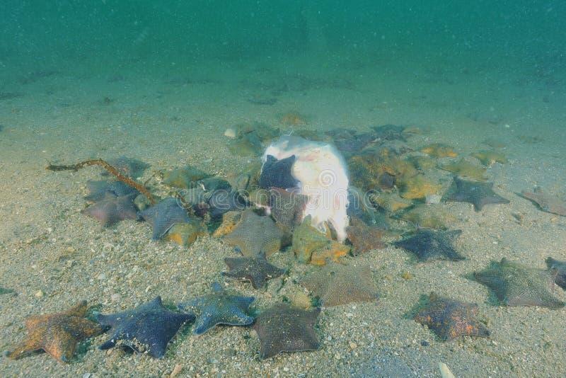 Estrellas de mar del amortiguador fotografía de archivo libre de regalías