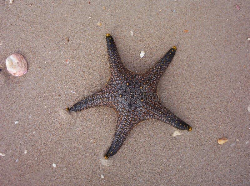 Estrellas de mar en arena en la playa fotografía de archivo libre de regalías