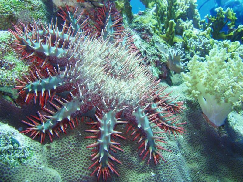 estrellas de mar, estrella de mar foto de archivo libre de regalías