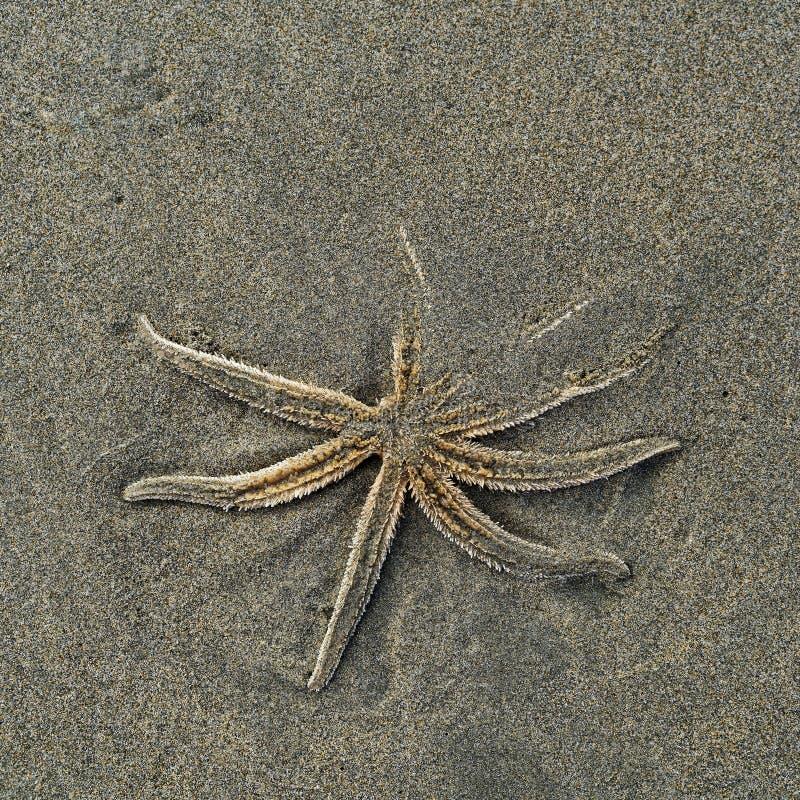 Estrellas de mar muertas en una playa, Nueva Zelanda imágenes de archivo libres de regalías