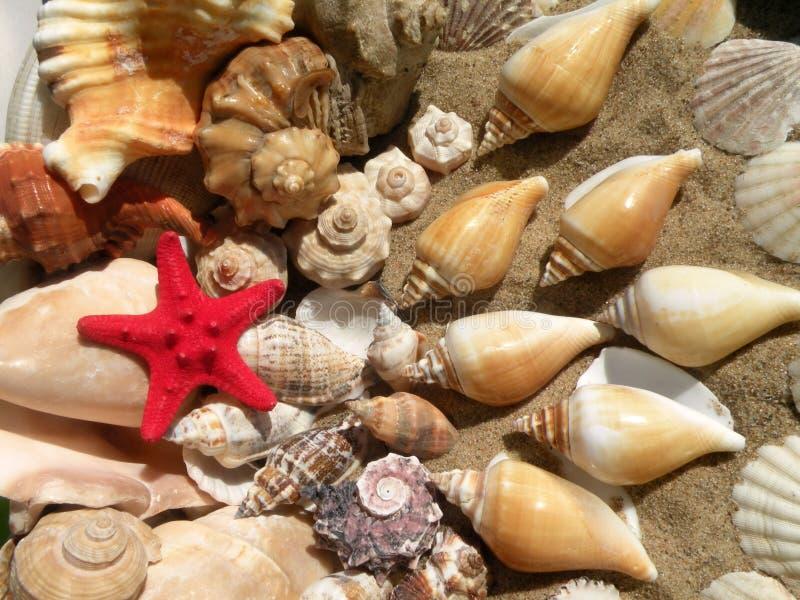 Estrellas de mar y cáscaras fotografía de archivo libre de regalías