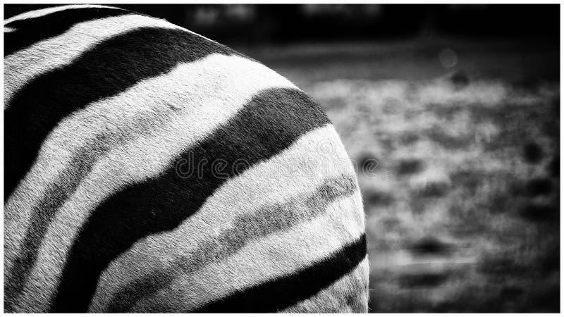 Estremità della zebra fotografie stock