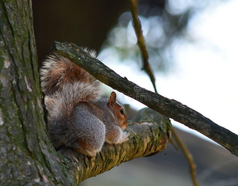 Estremit? dello scoiattolo fotografia stock libera da diritti